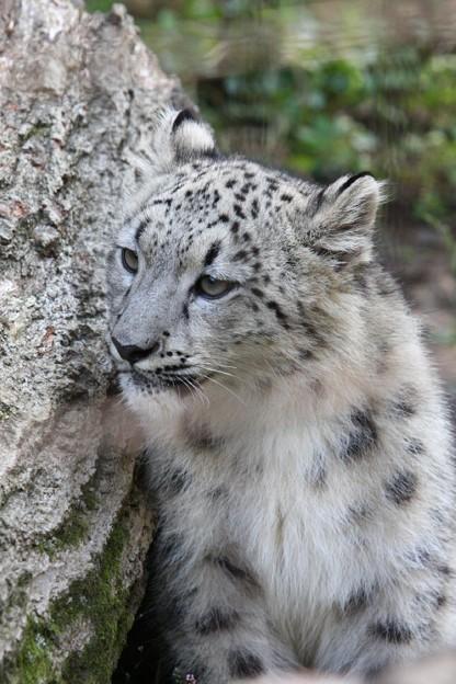 多摩動物公園111029-ユキヒョウの子供達 アサヒちゃん-15