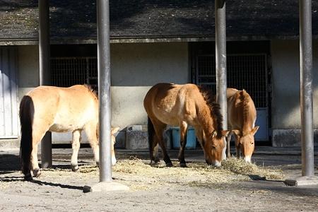 多摩動物公園111225-モウコノウマ 左ダイアナ中フルール右エーコ-01