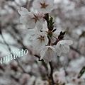 Photos: 2012.4.28 桜