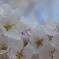 Photos: 桜の樹の下には