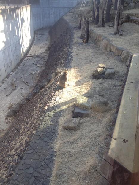 東山動植物園_146:ニホンザル(ホンドザル)