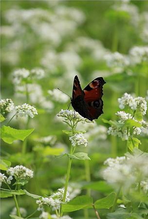 蝶&蕎麦の花