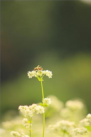 蕎麦の花&ミツバチ