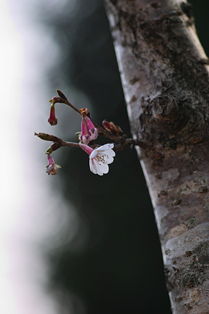 Cherry_Blossoms04082012sd15-02