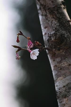 Cherry_Blossoms04082012sd15-02
