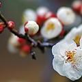 Photos: 梅は咲いたか~♪
