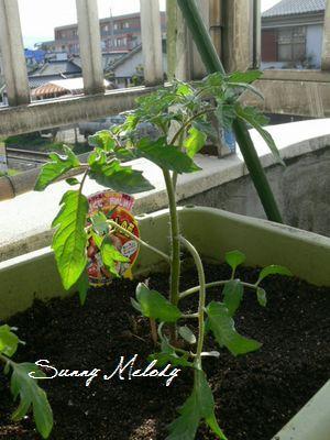 中玉のフルーツトマト