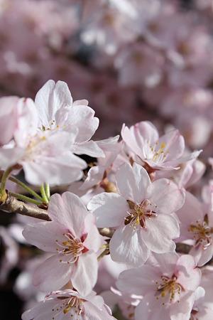 飯田の寺の桜10