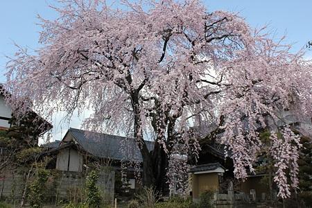 飯田の寺の桜11
