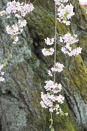 飯田の寺の桜12
