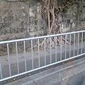 Photos: 沖縄の壁を飲み込んだ樹木。