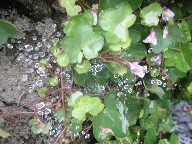 カキドオシとクモの巣と水滴