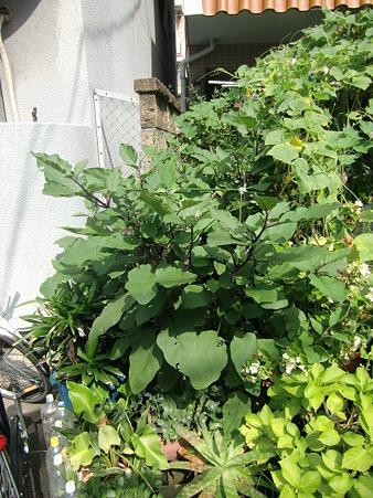 賀茂ナスの樹3841