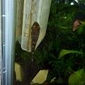 Photos: 20120317 60cmエビ水槽のニューゼブラオトシン