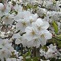 Photos: 大原野神社・千眼桜