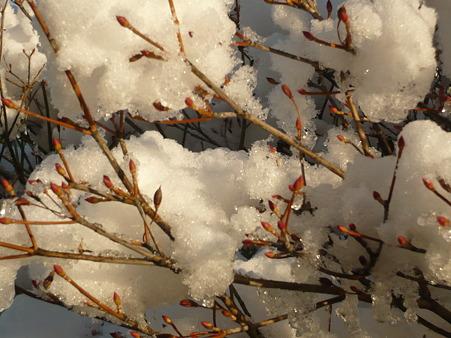 新芽に雪…