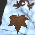 写真: 冬の木の葉…