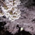 Photos: さくら5