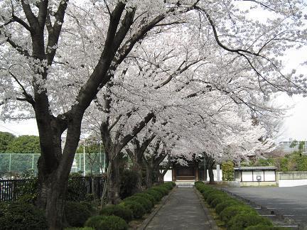 大昌寺参道の桜−2