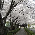 Photos: 大昌寺参道の桜-2