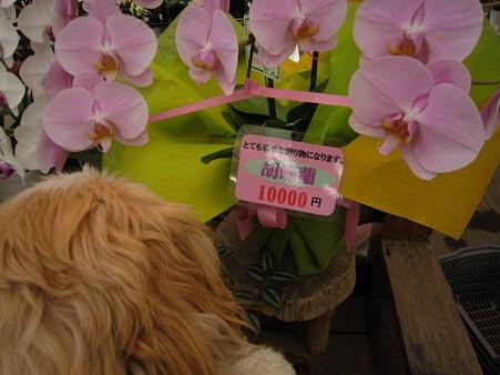 胡蝶蘭と…