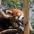 Photos: 木の上で居眠りするレッサーパンダ