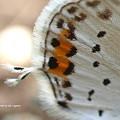 ツバメシジミのしっぽ(尾状突起)は風になびく。
