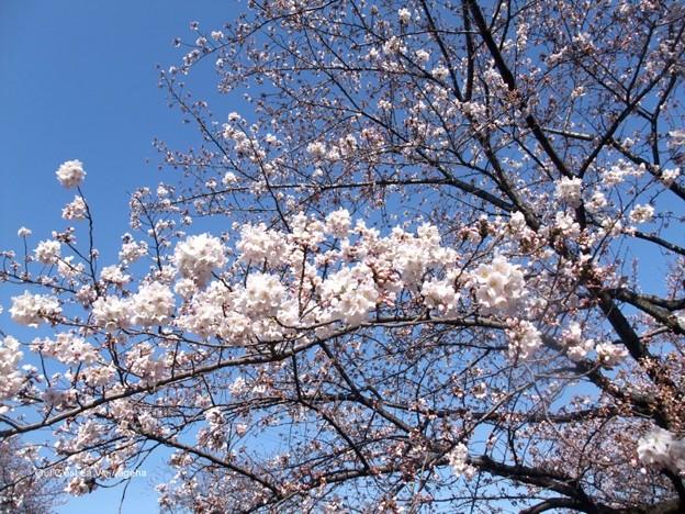 2012桜。部分的に満開なり。