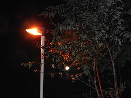 満月と櫨の木