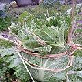 Photos: 背が縮んだ白菜