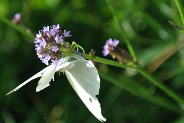 Photos: 蝶を捕らえたハナグモ