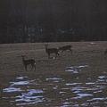 写真: Yarding Deer 02-9-12
