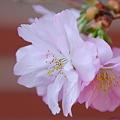 Photos: Accolade Cherry 4-14-12