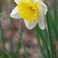 写真: Daffodil in the Woods