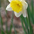 Daffodil in the Woods