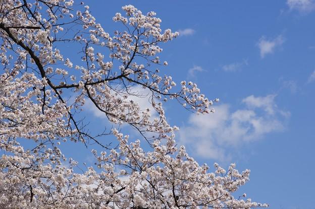 写真: 満開桜