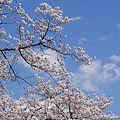 Photos: 満開桜