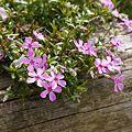 ジンヤの花(名前はシバザクラです)