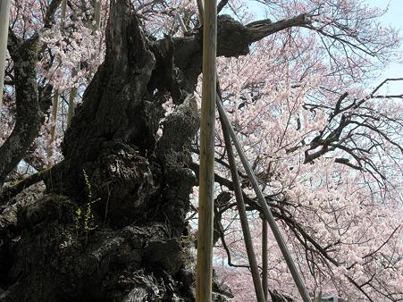 山高神代桜_7