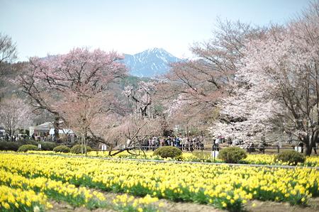 山高神代桜_035
