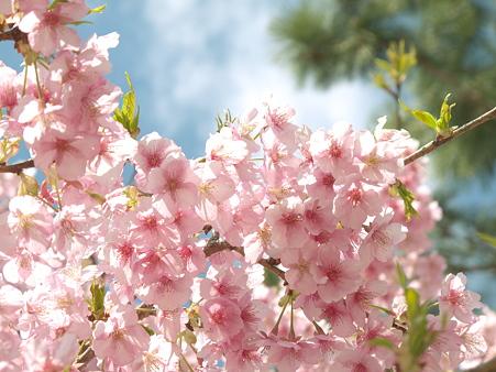 美和桜20120314_4