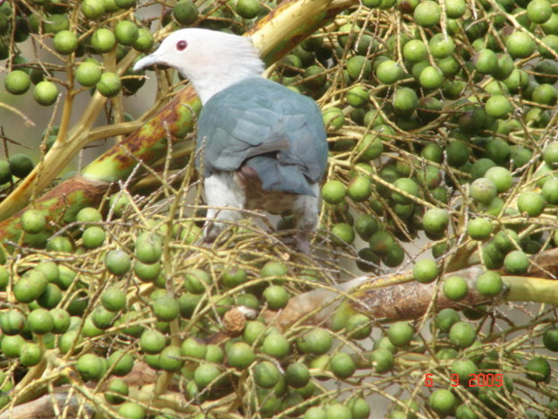 Green Imperial Pigeon2366