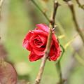 平和公園・薔薇01-11.09.22