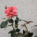 平和公園付近・薔薇01-11.09.22
