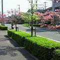 松山はなみずき通り3
