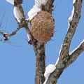 Photos: 【2】スズメバチの巣 {12月28日}