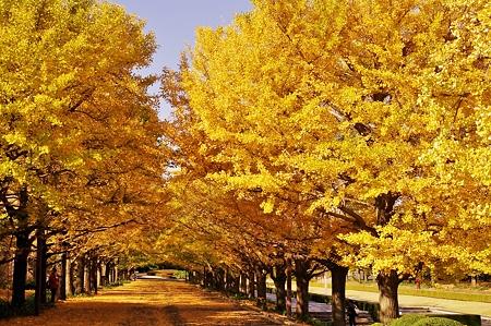 カナールイチョウ並木。