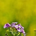 Photos: 菜な菜な菜の花。