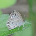 写真: ヤマトシジミ南西諸島亜種-7