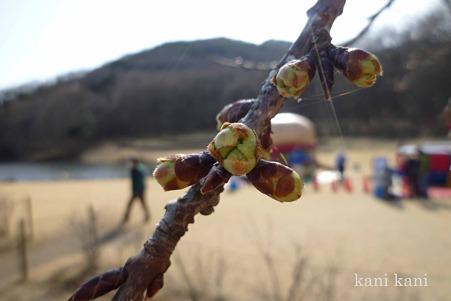 みかも山公園の河津桜